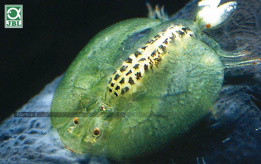 gyrodactylus paraziták)