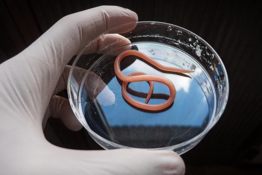 Milyen veszélyt jelentenek a bélférgek ránk, emberekre és kedvenceinkre (zoonózis)?