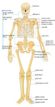 az emberi testben a korbféreg a)