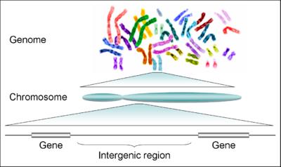 milyen férgek vannak az emberben kromoszómákkal