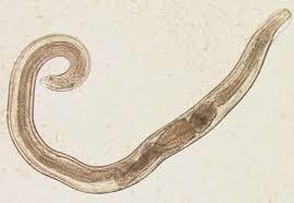 pinworms és giardia kezelés)