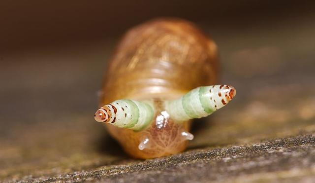 hosszú parazita)