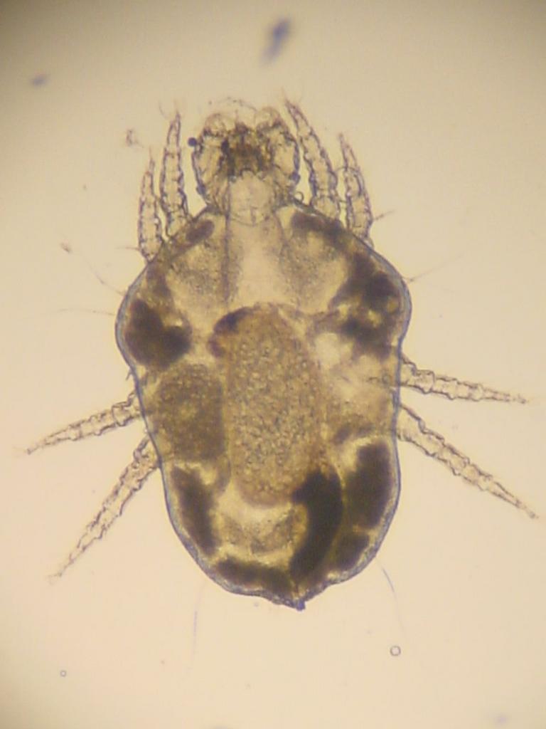 protozoai paraziták állatokban Strongyloidosis, mint kezelni