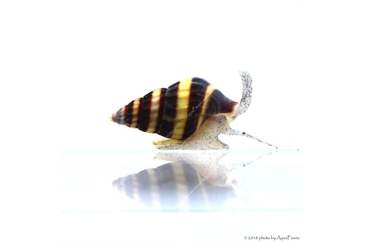 sárga csiga paraziták