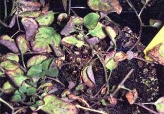 A burgonya morfológiája, termesztése, élettani károsodásai, betegségei, kártevői   drotosvizsla.hu