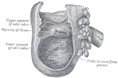 feregnyulvany latinul a helminták jelei az ember testében