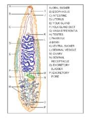 vasa efferentia plathelminthes