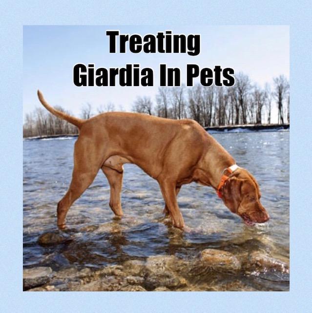 giardia yeast infection)
