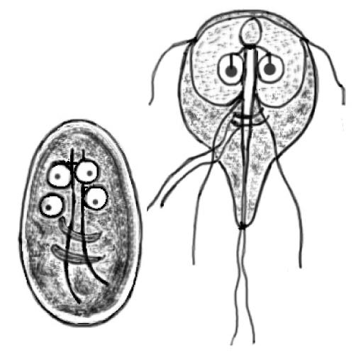giardia duodenalis mensch)