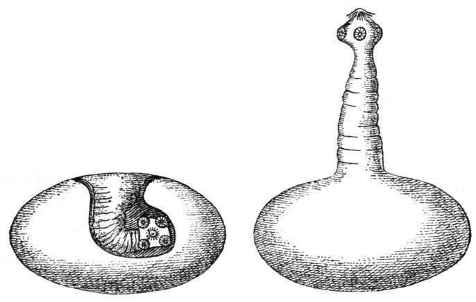 a platyhelminthes lárva formái)