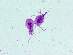 giardia on microscope)