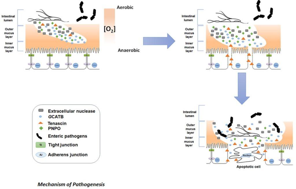 giardia diarrhea mechanism