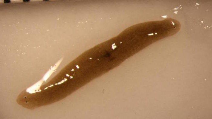 platyhelminthes szalagféreg jellemzői)