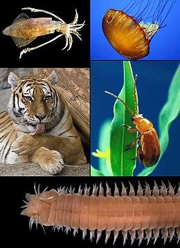 Platyhelminthes példák állatokra, Acoelomates: Állatok nélkül testüreg