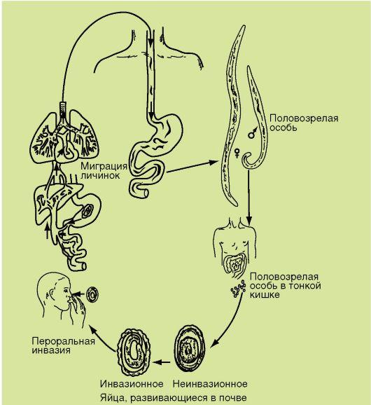 trichocephalosis ciklus