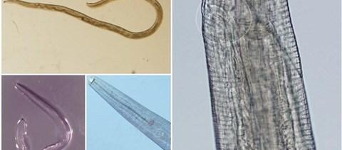 ezüstkagyló helminthosporium solani a genitális szemölcs fertőzés háztartási útja