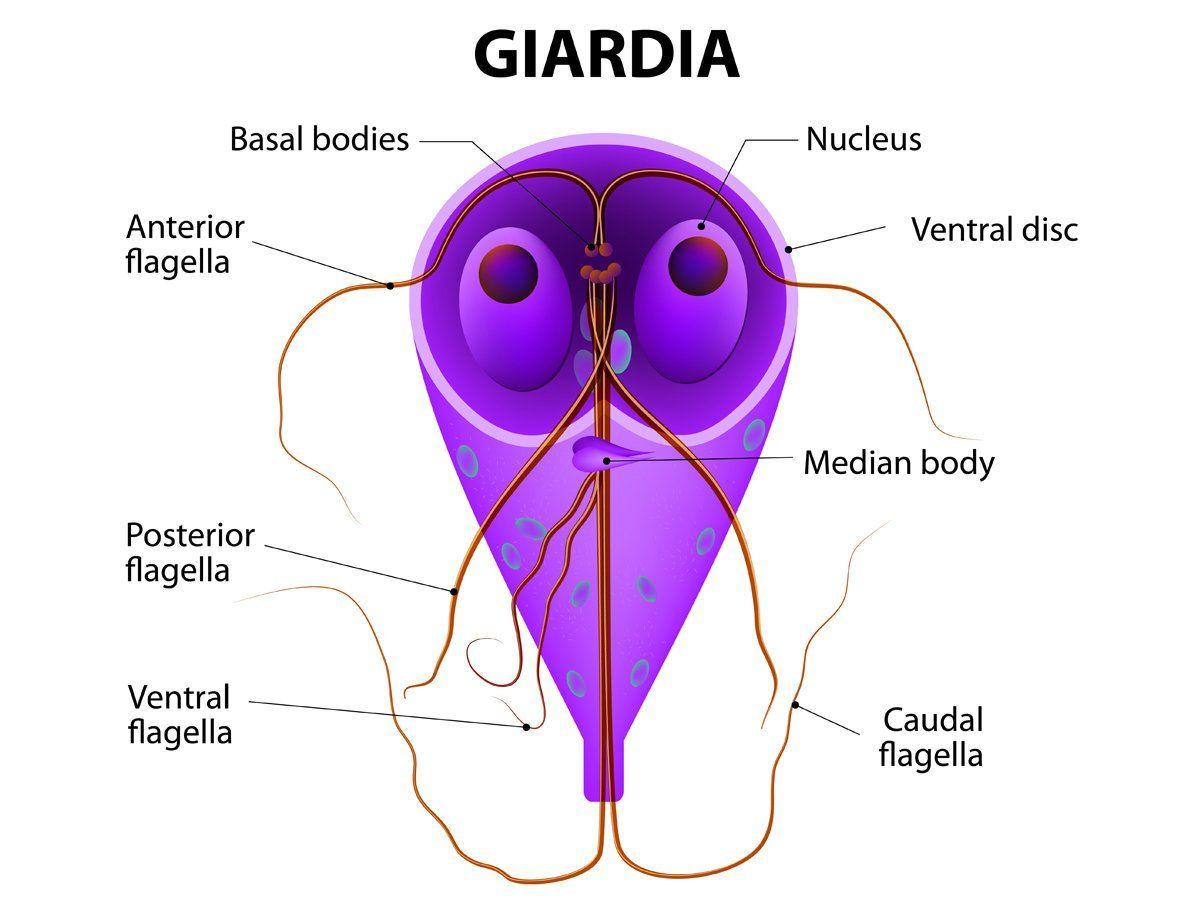epe giardiasis esetén)