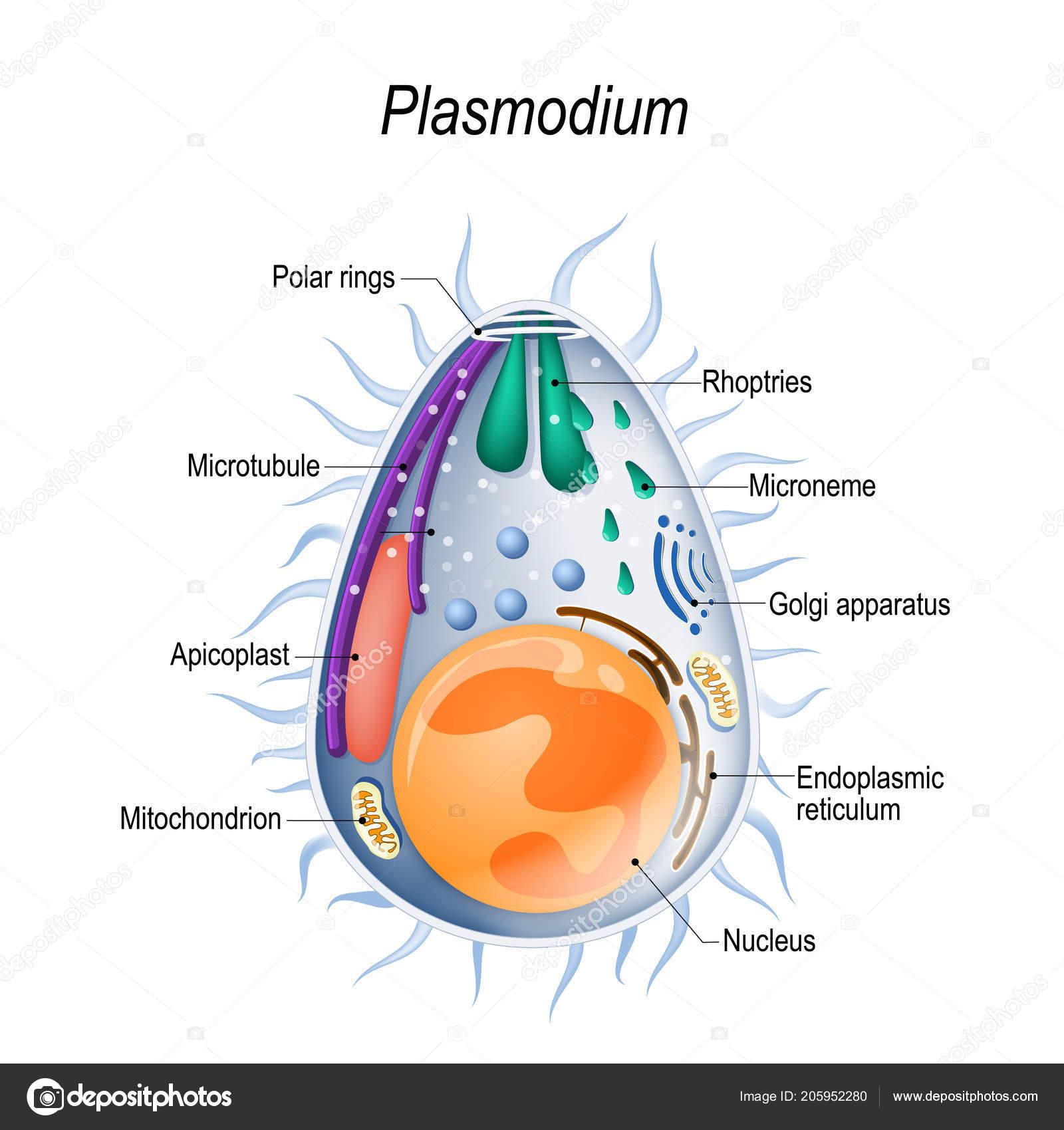 protozoaires paraziták bélben)
