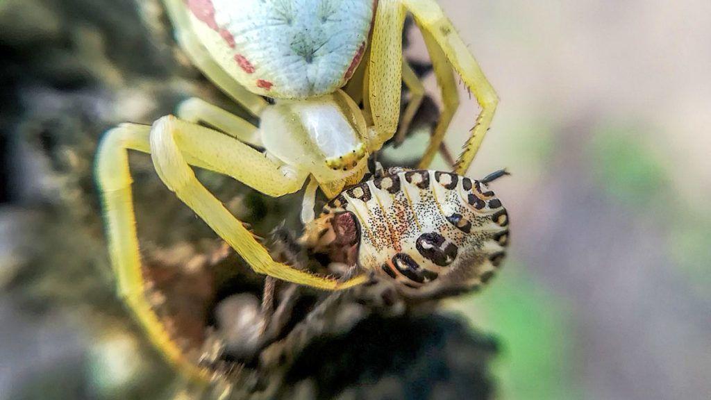 parazita rovartojásokban