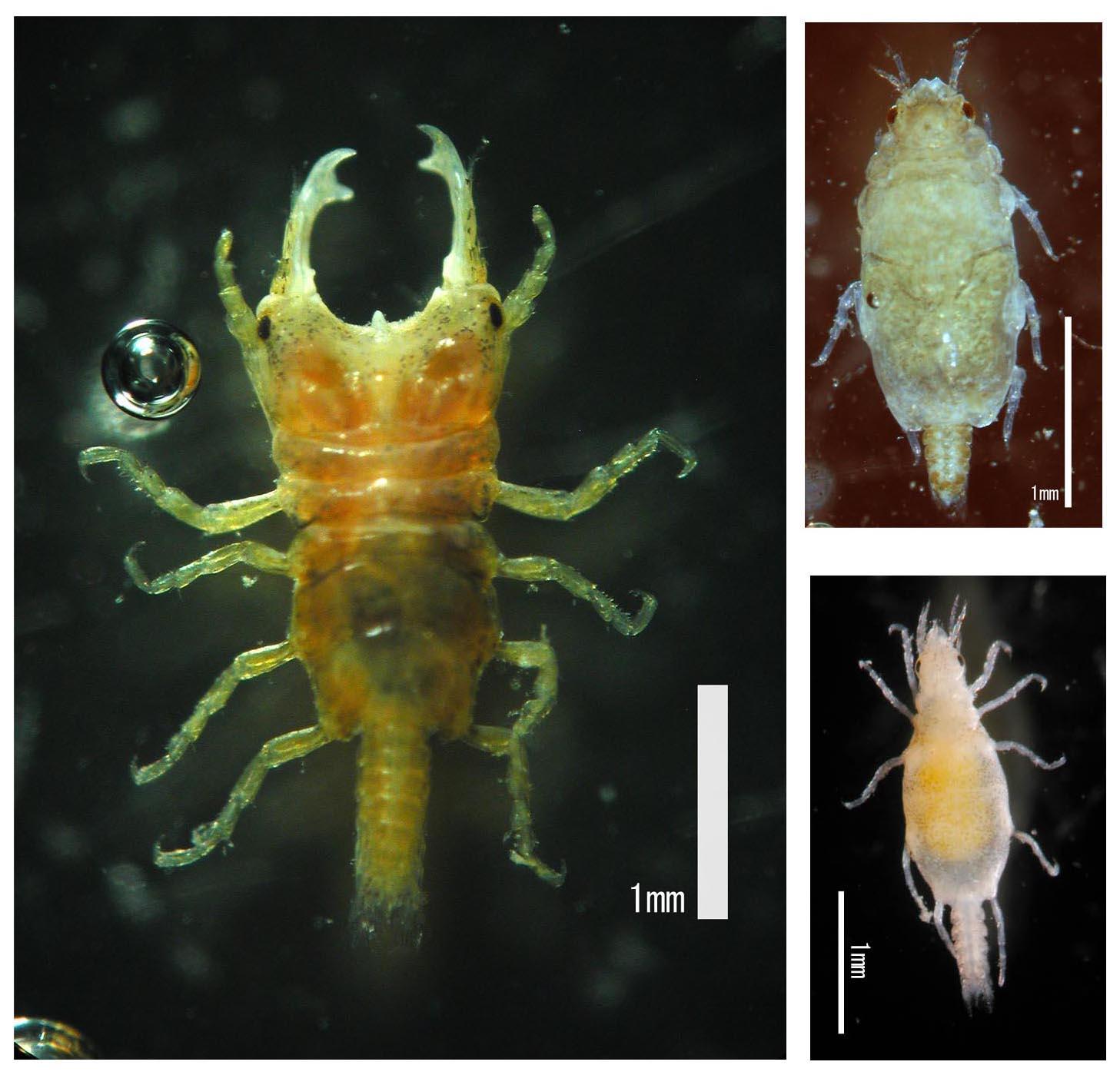 izopod paraziták