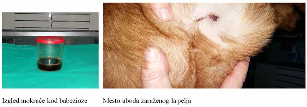 Giardiasis ciklus ,enzimek a giardia kezelésében