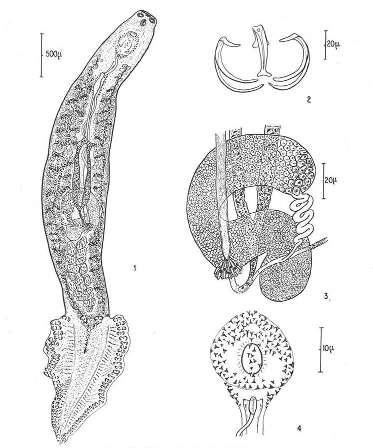 A Metazoa filogénia feltételezett útvonalai - ppt letölteni