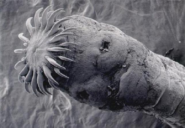 galandféreg larvajaval fertozott)