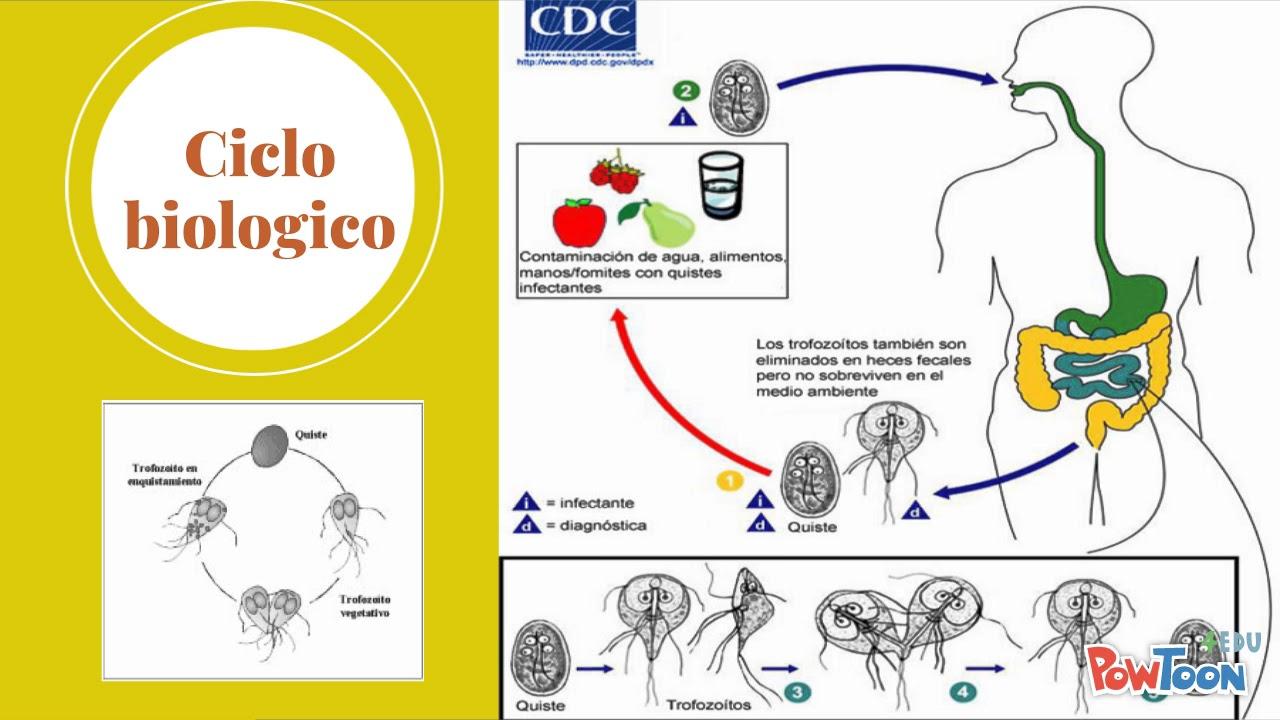 giardia duodenalis ciclo biologico