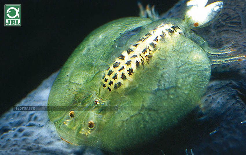 paraziták csapvízben)