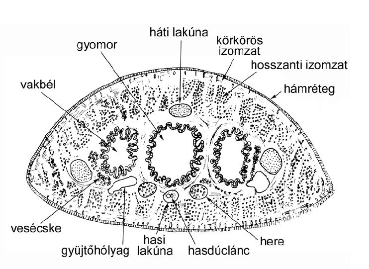 gyurusfergek angolul