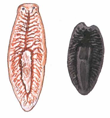 les cestodes paraziták de l homme férgek kezelési rendje