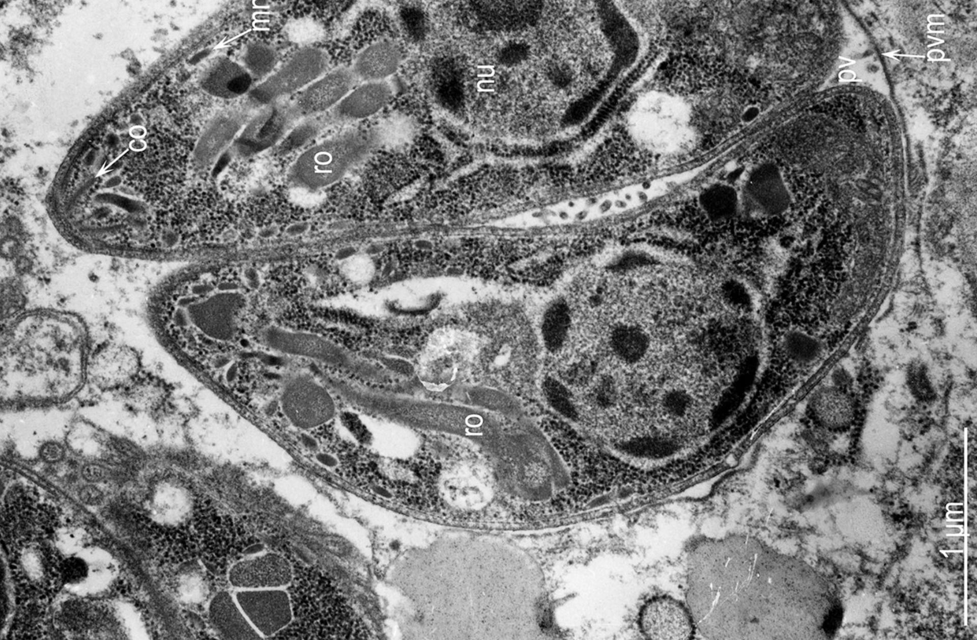 kötelező parazitvírus