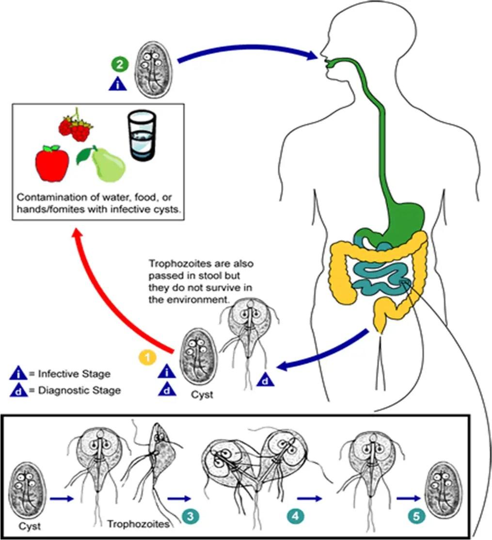 giardia life cycle cdc helminthiasis és bélprotozoák