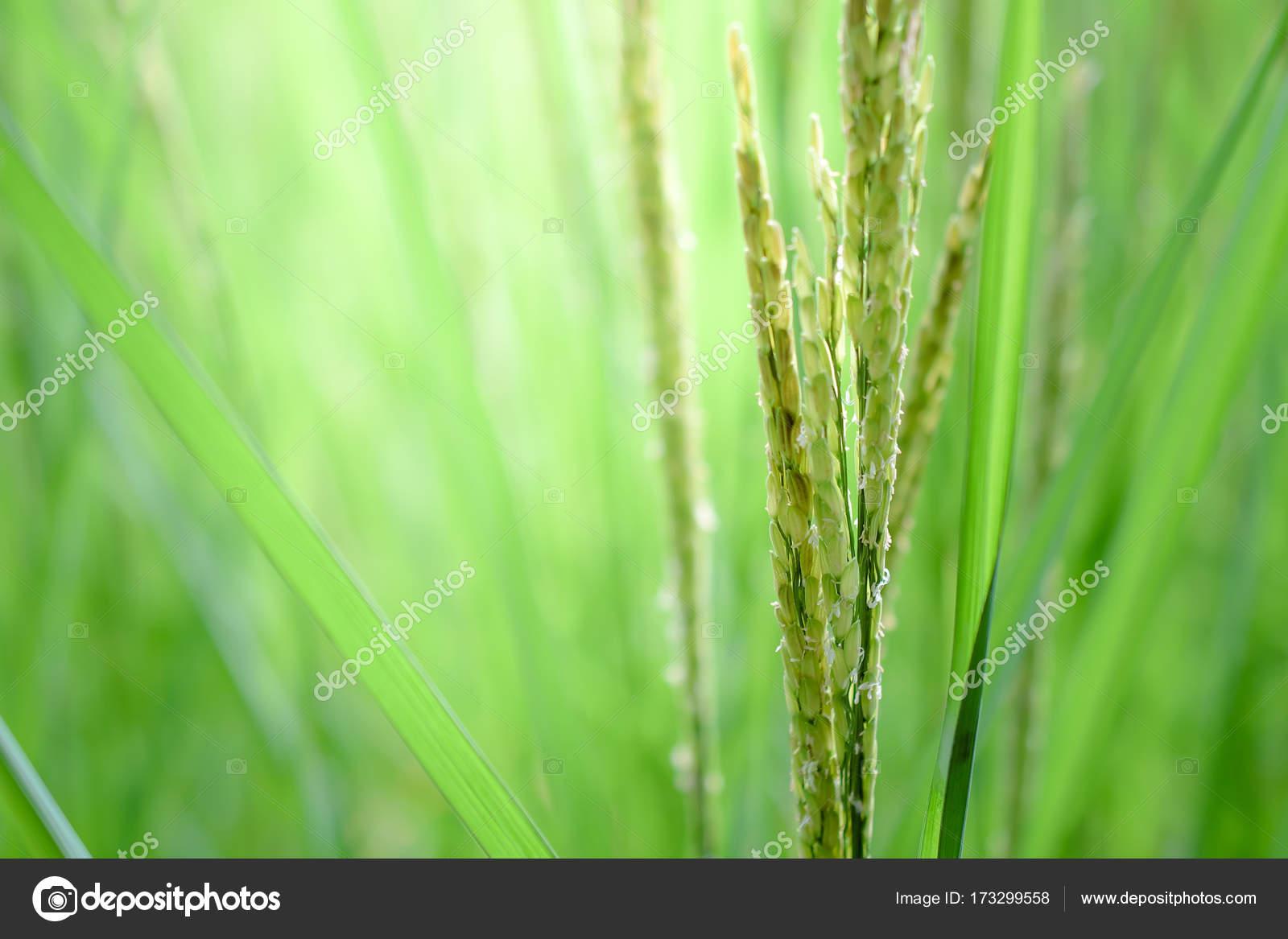 helminthosporium levél rizs