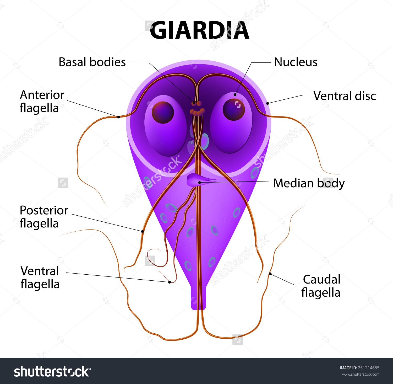 giardiasis a testben)