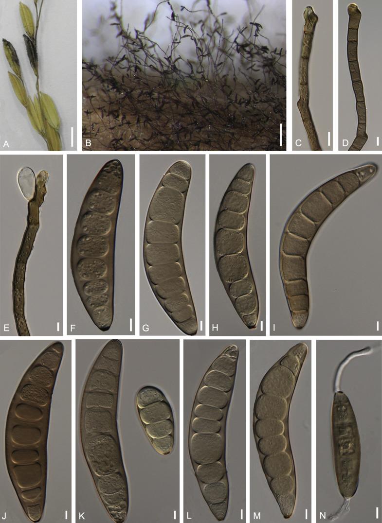 helminthosporium oryzae gomba