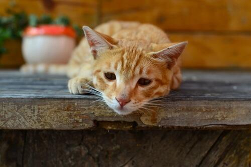 giardiasis gatos sintomas