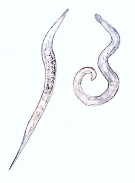 A kerekes férgek paraziták)