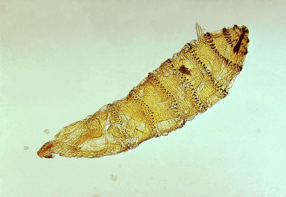protozoai paraziták állatokban)
