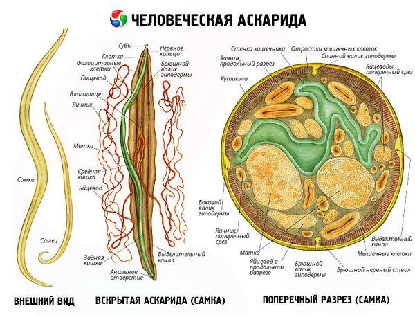 Ascaris az emberi testben, hol él, mit eszik? - Tápellátás