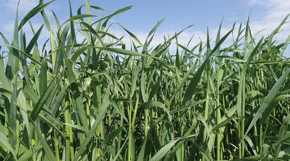 gabona aszcariasis szennyeződése)
