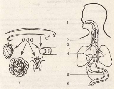 mit eszik a bika szalagféreg a probléma helmintos invázió mértéke