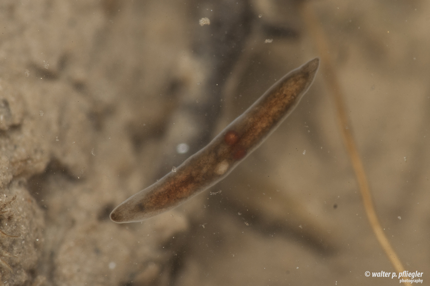 gerinctelen platyhelminthes