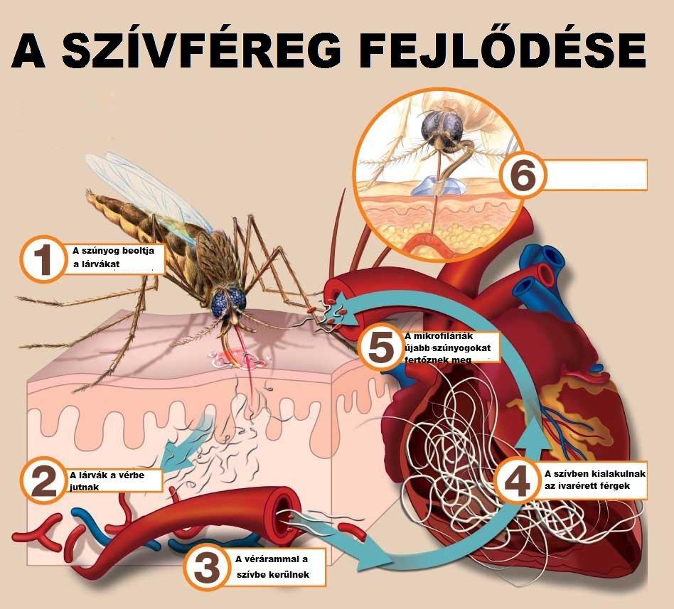 szív férgek kezelése)