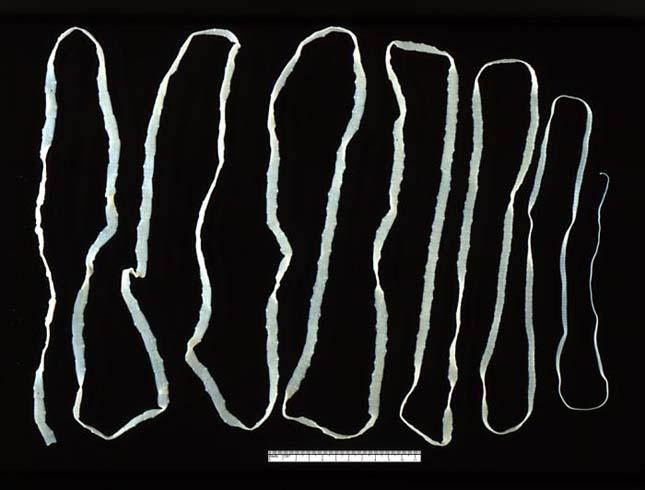 galandféreg larva