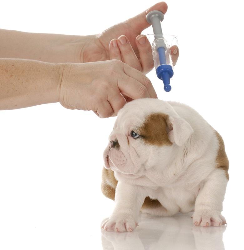 Anthelmintikus kutya oltás előtt. Kutya oltása veszettség ellen.