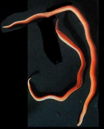 Ayherb a paraziták elleni gyógyszer strongyloidosis férgek
