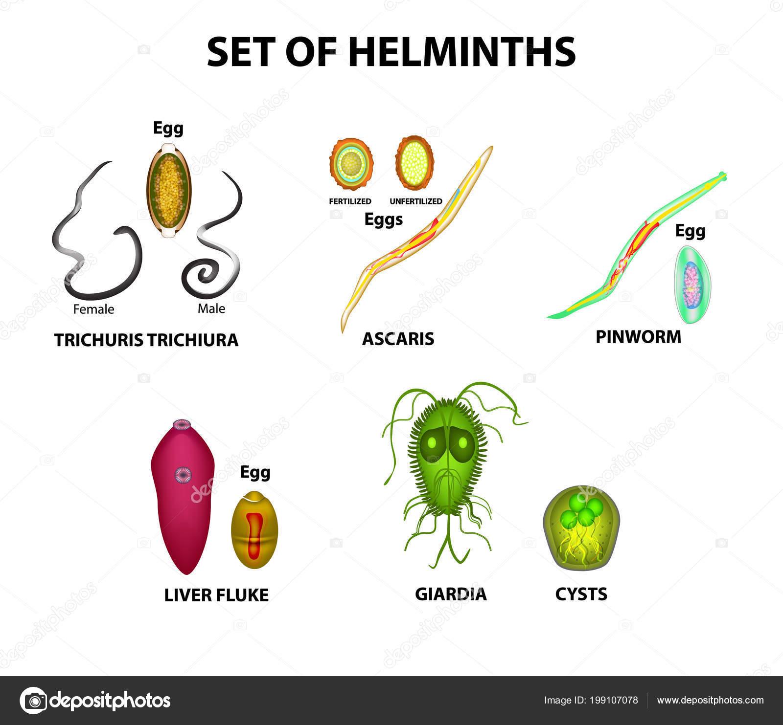 helminths tojás