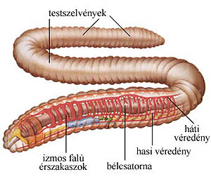 gyurusfergek mozgasa