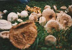 A parazita gombák szerepe, 5. Többsejtű gombák és zuzmók